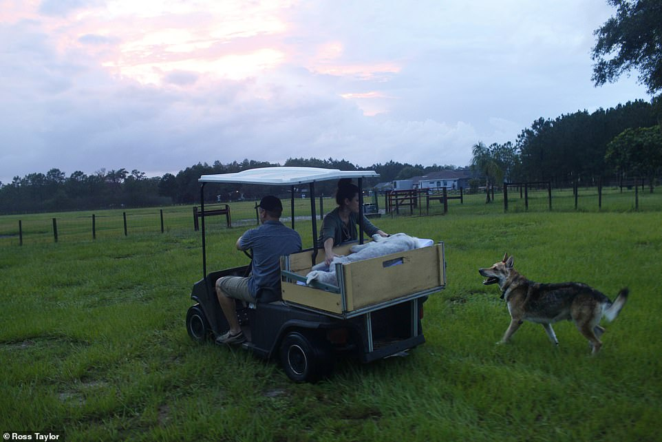 As the sun sets during a late summer evening, Kai, (right) senses something is wrong with fellow dog, Asia. He dutifully follows behind Rob Peterson and Dr Dani McVety. Soon, with the help of Carrie, Rob's sister, Asia will be buried on the farm